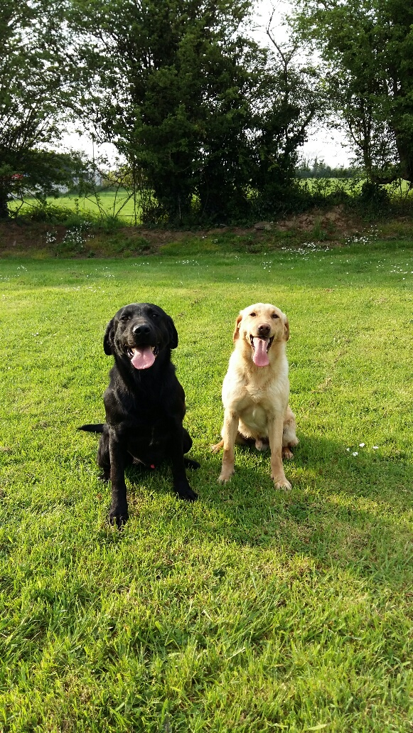 fully trained gun dog for sale